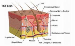 Skin Anatomy