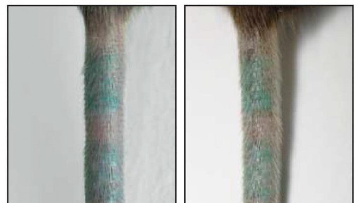 Mouse tail showing the same tattoo before macrophages are killed